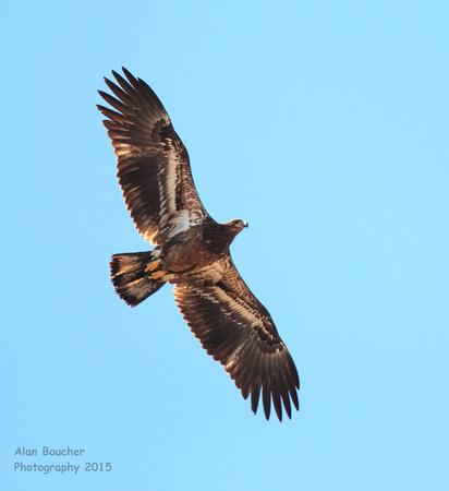 Imature Bold Eagle Soaring Overhead