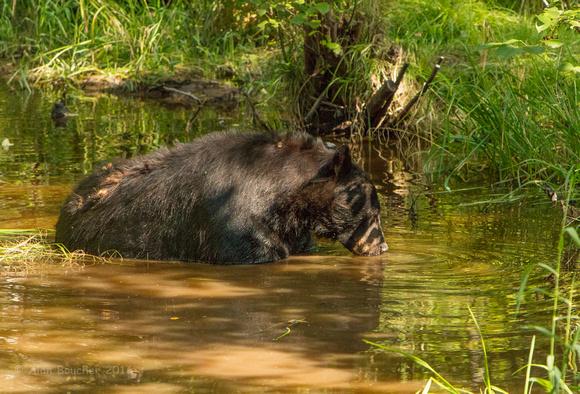 Papa Bear Quenching His Thirst