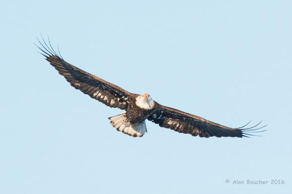 Bald Eagle soaring above