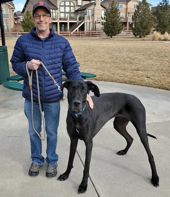 Pet Sitting / Dog Walking - Molly the Great Dane