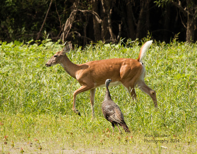 Deer crossing turkey's path