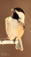 Chickadee Swallowing a Seed