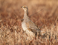 Male Sharp-tailed Grouse Sporting his Transmitter
