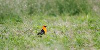 yellow-headed Blackbird in the Grasses