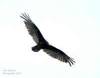 Turkey Vulture scanning for a carcass