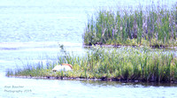 Trumpeter Swan taking a mid-day nap
