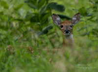 Fawn peaking out of the tall grasses