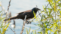 Crow perched near the lake