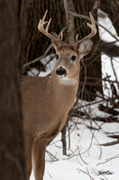 Big Buck looking around a tree