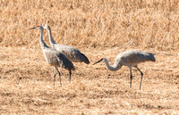 Sanhill Cranes eatng in the field
