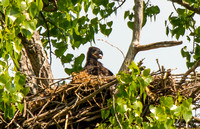 Bald Eaglet waiting for dinner