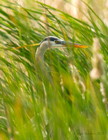 Great Blue Heron in the tall grasses