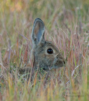 Cottontail in the Tall Grass