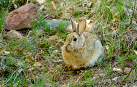 Cottontail Rabbit Hanging Out