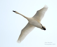Trumpeter Swan flying over you