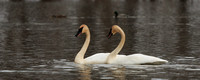 Pair of Dancing Swans