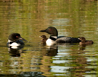 Loons and Chicks