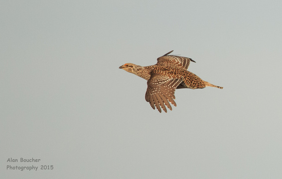 Male Sharp-tailed Grouse on the move