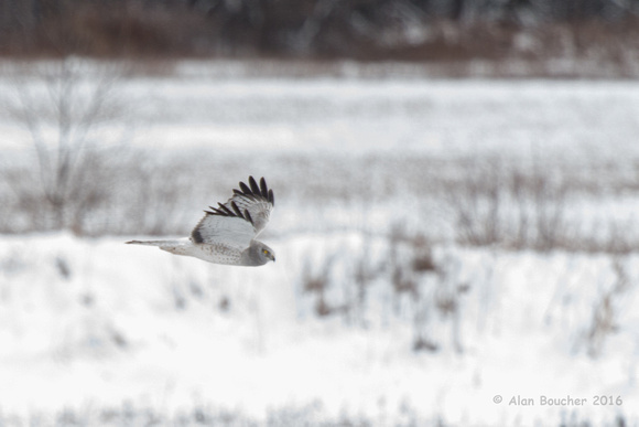 Northern Harrier on the Hunt