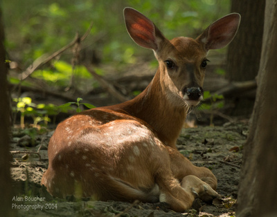 Fawn lying between the trees