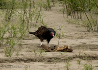 Turkey Vulture feasting on a Carp
