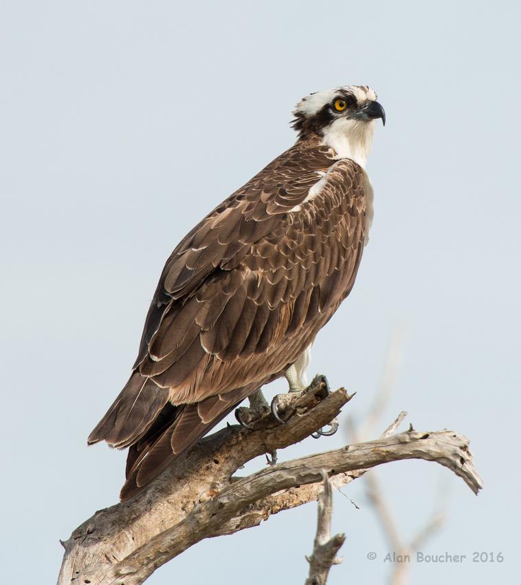 Osprey Spots Another
