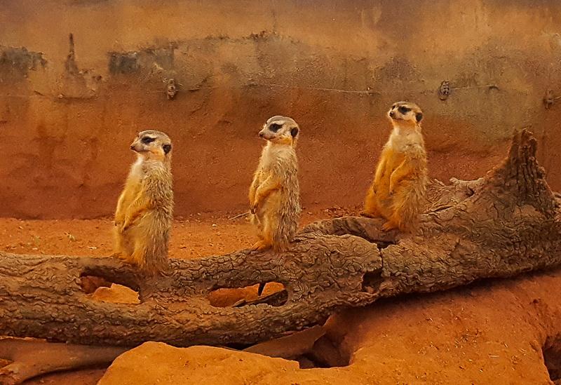 3 Wise Meerkats