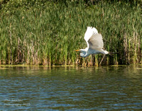 Great Egret changing fishing spots