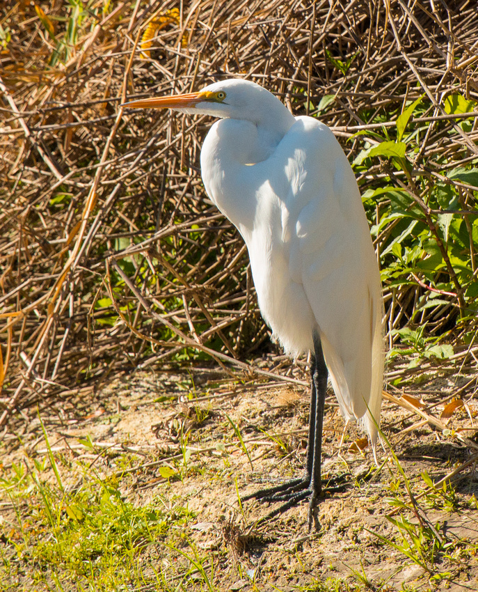 Great Egret on the Shore