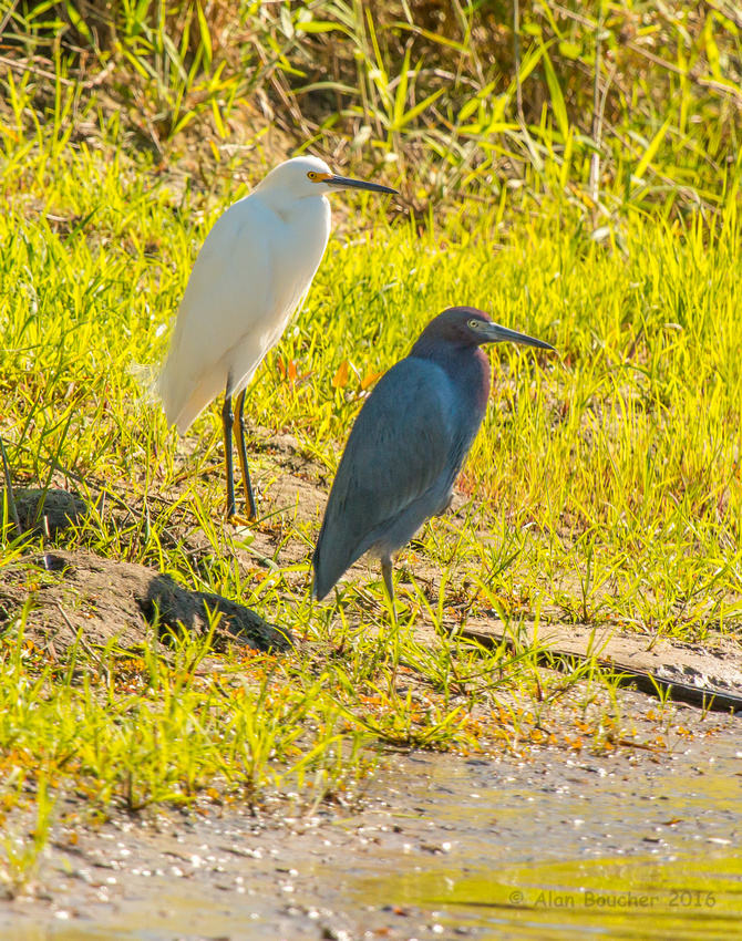 Great Egret and Little Blue Heron