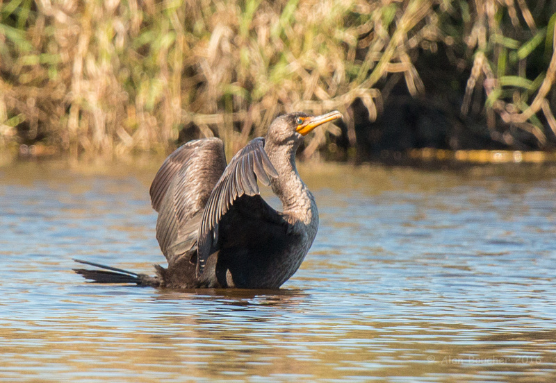 Cormarant Dancing on the Lake