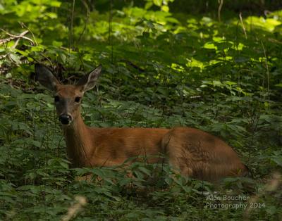 Doe lying in the brush