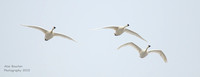 Trumpeter Swans flying  over you